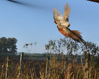 Adult Male Pheasant in Flight