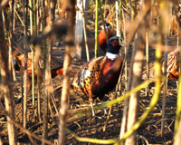 Adult Male Phesant in Pheasant Pen Cover