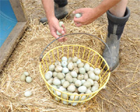 Hatching Pheasant Eggs being hand-gathered